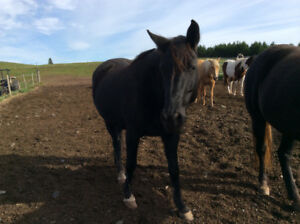 Registered Rocky Mountain mare