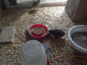 For Sale Quails