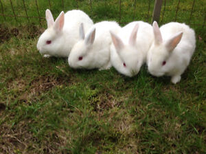 Californian bunnies ready for Easter