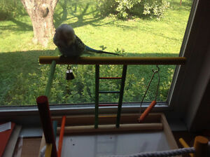 Adorable english budgie, vision cage, play stand