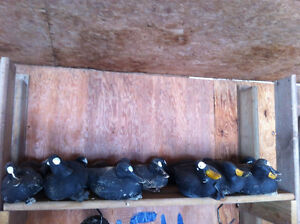 puddle duck decoys painted like scoters
