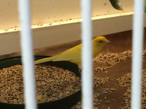 Natural Coloured Bourkes, Canaries and Society Finches