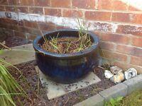Large blue pot with zebra grass