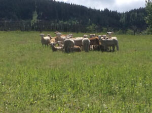 Katahdin Ram Lambs for Sale
