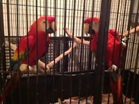 Proven breeders Scarlet Macaws