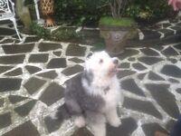 Old English sheep dog.