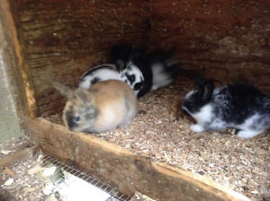 Baby bunnys Rex or lionheads super cute