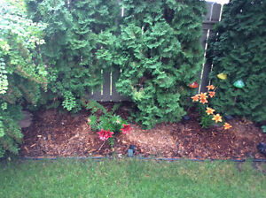 Western Red Cedar Mulch /