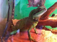 Dragon d'eau et vivarium complet