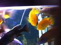 """African  Cichlids Lot of 7 Yellow Labs 2"""" for $10"""