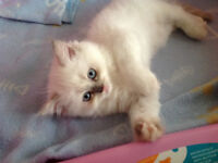 Quick!  Only 1 Adorable Pure Breed Himalayen Left To Be Reserved