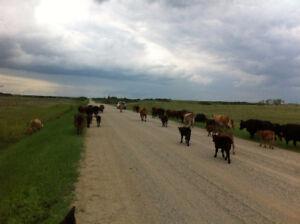 Herd Dispersal