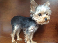 T-cup size Yorkshire terrier