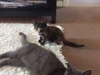Tortieshell kitten 9 weeks £100