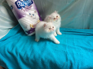 Only one left, Royal Kittens, pure Persians, CFA registered,