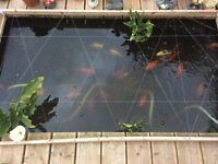 5 medium size goldfish free to collect