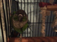 Breeding pair of green cheek conures and English budgies