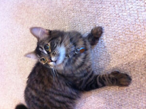 LOST CAT: Missing Long Haired Tabby - Name Mittens