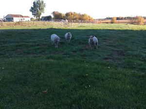 3 sheep for sale