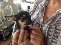 Reduced Chihuahua boys