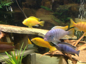 FISH – VARIOUS AFRICAN CICHLID FRY FOR SALE- BUY 10 GET 2 FREE!!