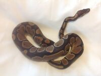 Normal Morph Reptile Royal Python Snake 16 months old
