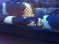 Female California king snake without set up .