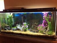 55 gallon Cichlid tank, very nice, up and running