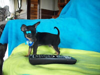 WOW top qualiter CHIHUAHUA PURE RACE  1 femelle 1 males T-CUP