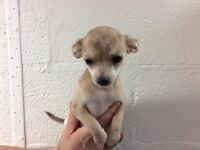 Chihuahua puppies ready for loving home!!!