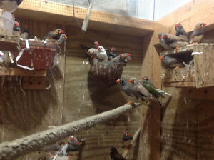 FINCHES $10.00 MALE ONLY why pay retail prices $30.00