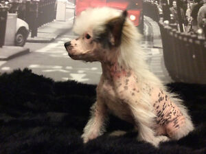 """[_""""CHINESE CRESTED PUPPIES""""_]"""