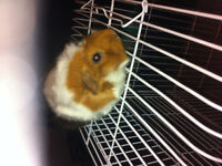 2 pets gunua pig hamster comes with every thing 80 need gone!!!!
