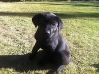 Adorable Lab puppies for sale