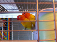 BREEDING PAIRS OF FISCHER LOVEBIRDS
