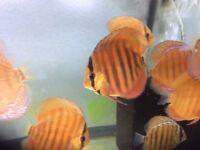 Discus fish (Super red curipeua 3-3,5')