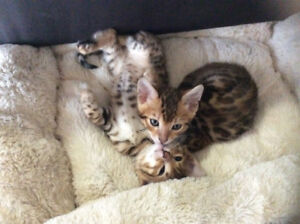 Top quality Tica registered purebred Bengal kittens- Ready to go