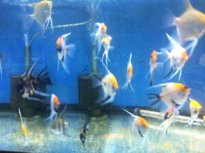a lot of angel fish come at T T PETS