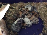 Harlequin and Dutch young rabbits