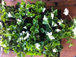 Perennial white violets and bagged rabbit manure.