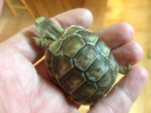 Baby Tortoises   Kijiji in Ontario  - Buy, Sell & Save with Canada's