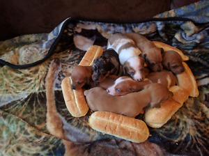 Miniature short hair Dachshund puppies