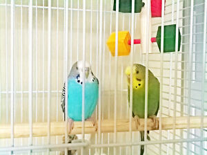 STILL MISSING: $80 Reward for Green and Blue Budgies in Langford