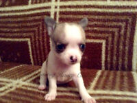 "Short coat female ""Apple head"" chihuahua ( male and female sold)"