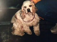 Searching for a lady who bred American Cocker Spaniels in 2000