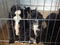 Cockapoos for sale f1