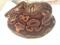 Adult Male Ball Python Snake