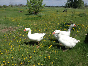 10 month free run geese for sale