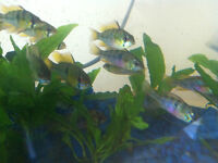 Purple Rams poisson tropical fish