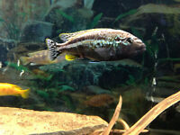 FISH – AURATUS – MALE CICHLID